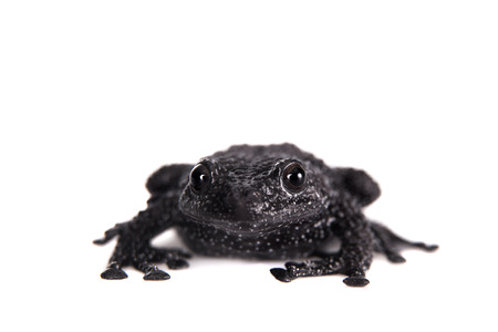 unobtrusive: Theloderma ryabovi, rare spieces of frog isolated on white Stock Photo