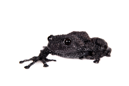 unobtrusive: Theloderma ryabovi, rare species of frog isolated on white Stock Photo