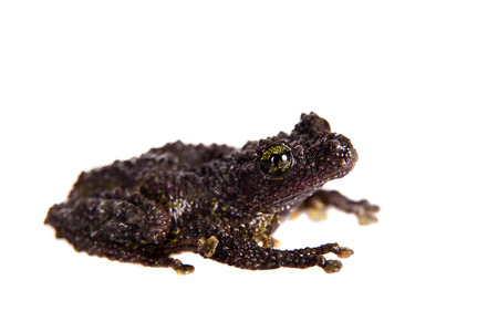 unobtrusive: Theloderma bicolor, rare species of frog isolated on white background Stock Photo