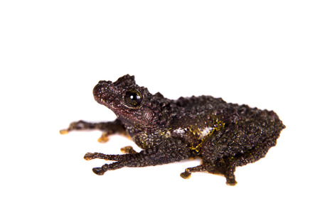 tiny frog: Theloderma bicolor, rare species of frog isolated on white background Stock Photo