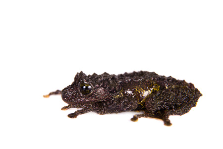 tiny frog: Theloderma bicolor, rare spieces of frog isolated on white background Stock Photo