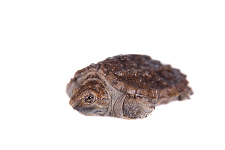 Common Snapping Turtle hatchling, Chelydra serpentina, on white background photo