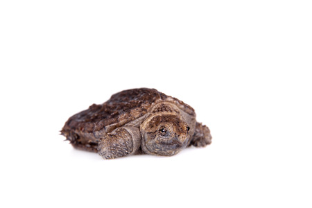 freshwater turtle: Common Snapping Turtle hatchling, Chelydra serpentina, on white background