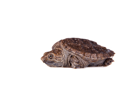 Common Snapping Turtle hatchling, Chelydra serpentina, on white background