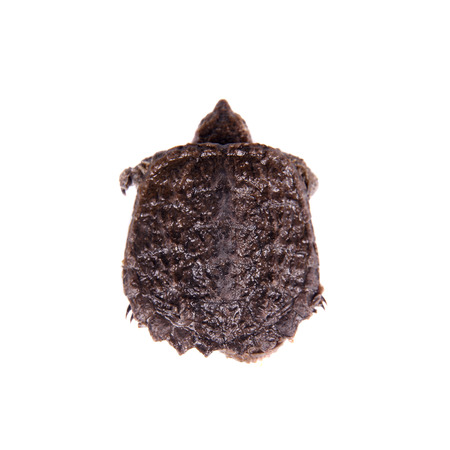 snapping turtle: Common Snapping Turtle hatchling, Chelydra serpentina, on white background