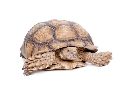 spurred: African Spurred Tortoise, Geochelone sulcata, on white background Stock Photo