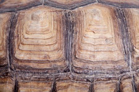 sulcata: African Spurred Tortoise, Geochelone sulcata, on white background Stock Photo