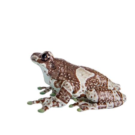 grenouille: Amazon lait Frog, Trachycephalus resinifictrix, isol� sur fond blanc Banque d'images
