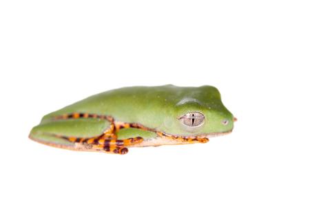 barred: Barred leaf frog, Phyllomedusa tomopterna, isolated on white background