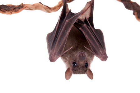 Egyptian fruit bat or rousette, Rousettus aegyptiacus. on white background