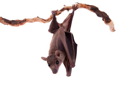 vampire bats: Egyptian fruit bat or rousette, Rousettus aegyptiacus. on white background