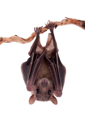 Egyptian fruit bat or rousette, Rousettus aegyptiacus. on white background Stock Photo