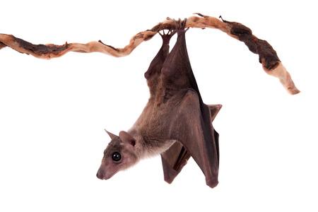 이집트 과일 박쥐 또는 rousette, Rousettus의 aegyptiacus는. 흰색 배경에