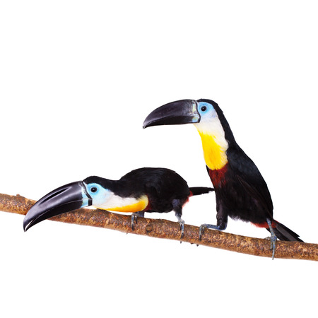 Channel-billed toucan, Ramphastos vitellinus, isolated on white background photo