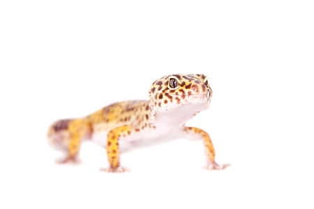 Tangerine Tremper Leopard Gecko on a white background photo