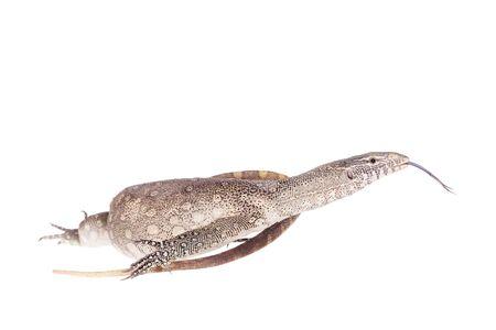 white nile: Nile monitor, Varanus niloticus, isolated on white background Stock Photo