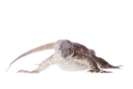 white nile: Monitor del Nilo, Varanus niloticus, aislado en fondo blanco