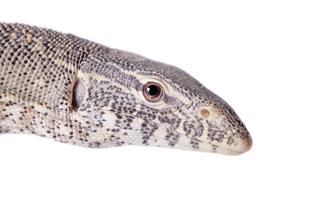 niloticus: Nile monitor, Varanus niloticus, isolated on white background Stock Photo