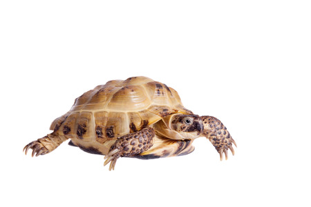 TORTOISE: Russian or Central Asian tortoise, Agrionemys horsfieldii Stock Photo