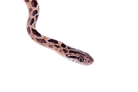 defensive posture: Many Spotted Cat Snake, Boiga multomaculata, on white background Stock Photo