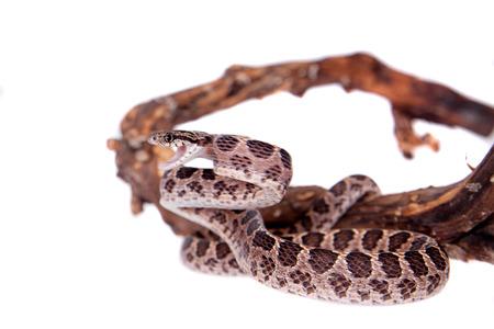 sliding scale: Many Spotted Cat Snake, Boiga multomaculata, on white background Stock Photo