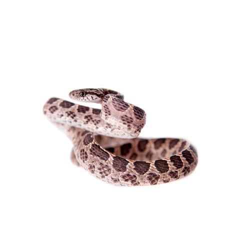 defensive posture: Muchos manchado serpiente del gato, Boiga multomaculata, sobre fondo blanco Foto de archivo