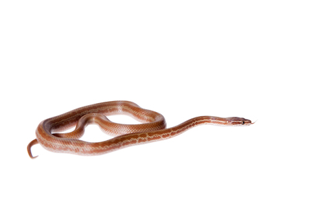 Coiled Cape House Snake, Boaedon Capensis, on white backgroun