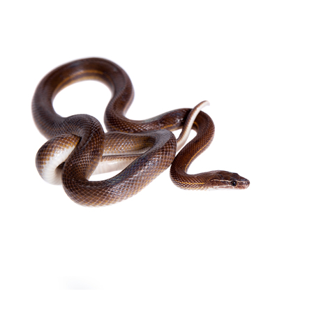hiss: Striped House Snake, Boaedon lineatus, isolated on white background