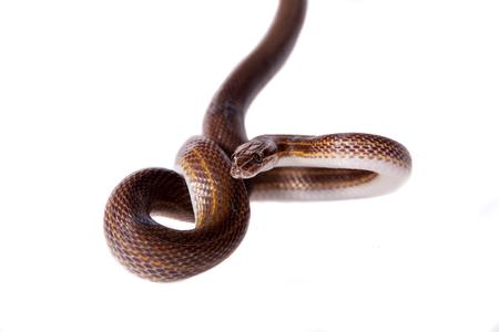 limbless: Striped House Snake, Boaedon lineatus, isolated on white background