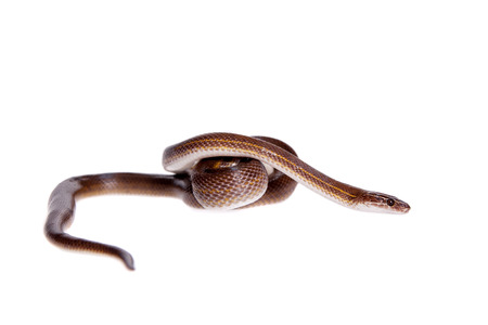Striped House Snake, Boaedon lineatus, isolated on white background