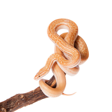 coiled snake: Coiled Cape House Snake, Boaedon Capensis, on white backgroun
