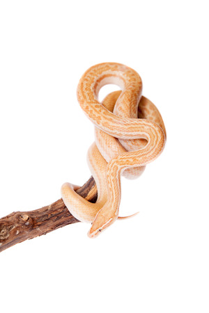 hiss: Coiled Cape House Snake, Boaedon Capensis, on white backgroun