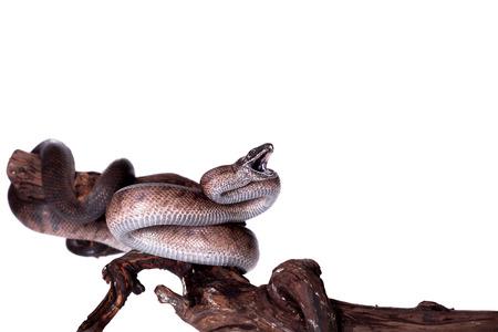 puerto rican: Puerto Rican boa, Chilabothrus inornatus, isolated on white backgorund Stock Photo