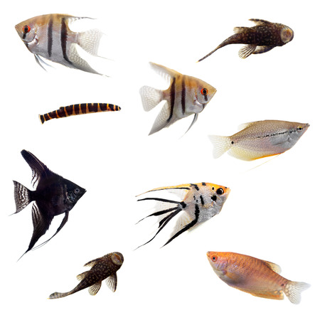 scalar: Group of decorative fishes on white