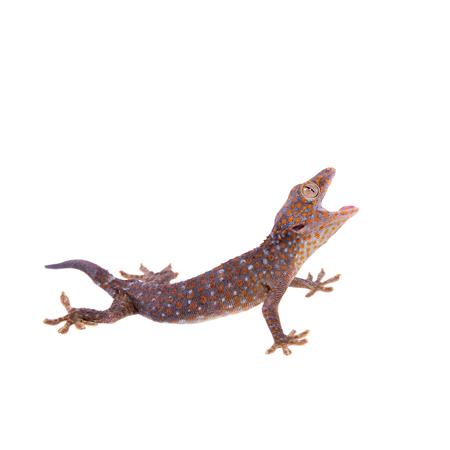 tokay gecko: Tokay Gecko isolated on white background
