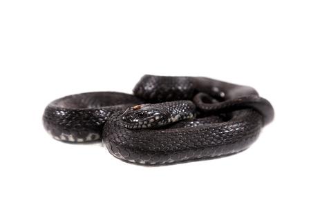 natrix: Dice snake, Natrix tessellata, on white