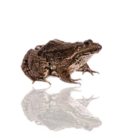 ridibundus: Marsh Frog on white, Pelophylax ridibundus Stock Photo