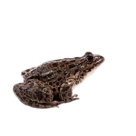 tiny frog: Marsh Frog on white, Pelophylax ridibundus Stock Photo