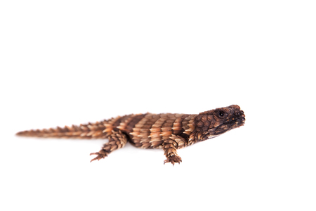 full blooded: The armadillo girdled lizard on white