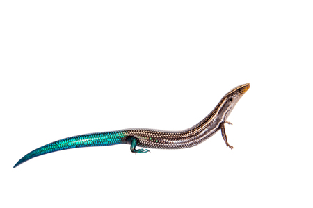 and diurnal: Gran Canaria skink, Chalcides sexlineatus, on white Stock Photo