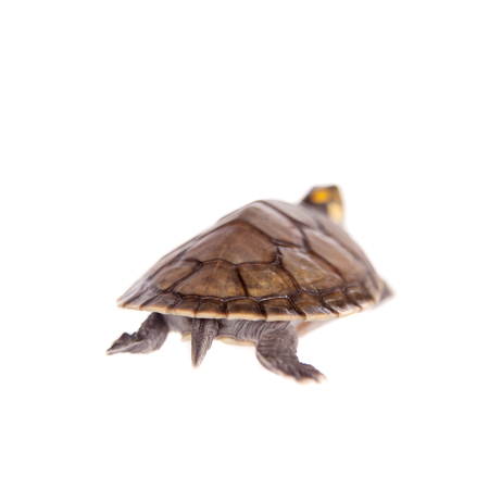 hatchling: Yellow-spotted River Turtle, Podocnemis unifilis, on white Stock Photo