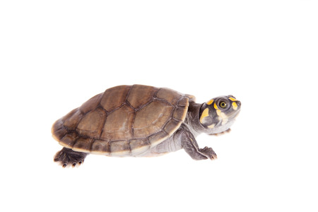 freshwater turtle: Yellow-spotted River Turtle, Podocnemis unifilis, on white Stock Photo