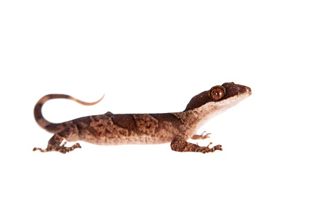 Bow-fingered gecko, Cyrtodactylus irianjayaensis, on white