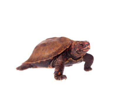 ryukyu: The Ryukyu leaf turtle, Geoemyda japonica, on white