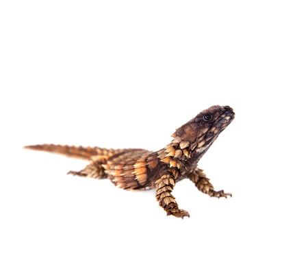 lagartija: El armadillo ce�ida lagarto en blanco