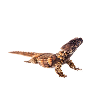 and diurnal: The armadillo girdled lizard on white