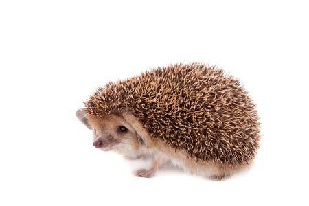 droll: Long-eared hedgehog on white Stock Photo