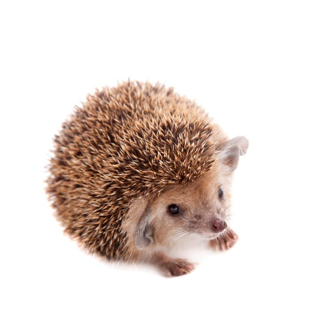 descendant: Long-eared hedgehog on white Stock Photo