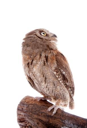 kidnapper: The European scops owl on white