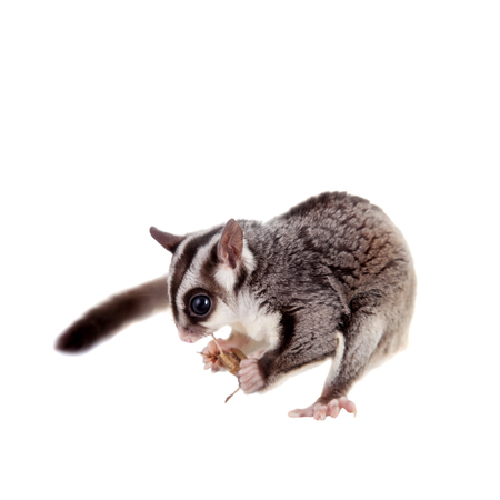 a nocturne: Sugar glider, Petaurus breviceps, on white Stock Photo